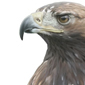 Águila real \ Golden eagle